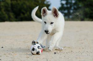 Schäferhund spielt Ball