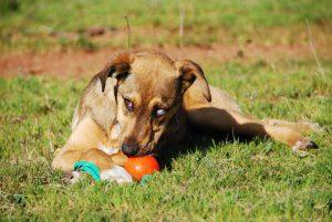 Junghund mit Ball
