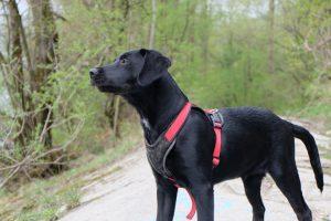 Labrador als Junghund