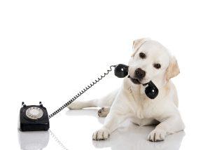 Labrador mit Telefon