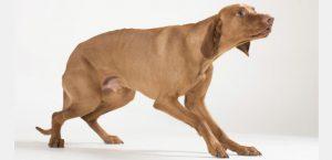 Körpersprache eines ängstlichen Hundes