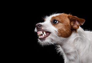 Hund zeigt seine Zähne und aggressiv