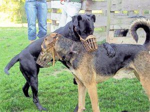zwei sich dominierende Rauferhunde