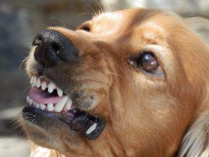 Hund zeigt seine Zähne und droht