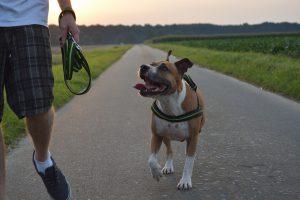 Freilaufender Staffordshire Terrier